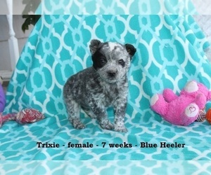 Texas Heeler Puppy for sale in CLARKRANGE, TN, USA
