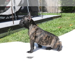 Small Photo #2 French Bulldog Puppy For Sale in HOLLYWOOD, FL, USA