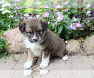 Australian Shepherd-Siberian Husky Mix Dog for Adoption in SHILOH, Ohio USA