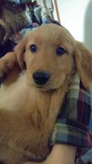 Golden Retriever Puppy For Sale in DANDRIDGE, TN, USA