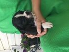 Buggs Puppy For Sale in RURAL RETREAT, VA, USA