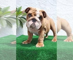 Bulldog Puppy for Sale in SANTA ANA, California USA