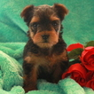 Yorkshire Terrier Puppy For Sale in GAP, PA, USA