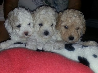 Poodle (Toy) Puppy For Sale in FONTANA, CA