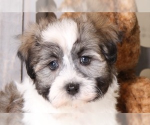 View Ad: Havanese Litter of Puppies for Sale near South Dakota USA