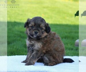 Pom-A-Poo Puppy for sale in LEOLA, PA, USA