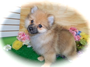 Pomeranian Puppy For Sale in HAMMOND, IN