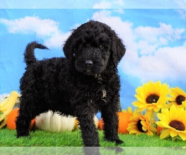 Medium Photo #3 Miniature Bernedoodle Puppy For Sale in FREDERICKSBG, OH, USA