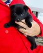 Schipperke Puppy For Sale in WAPATO, WA