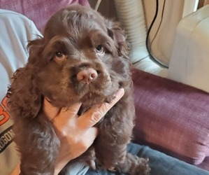 Cocker Spaniel Puppy for sale in GOLD HILL, OR, USA
