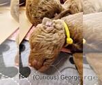 Puppy 6 Chesapeake Bay Retriever
