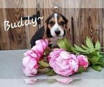 Puppy 8 Beagle