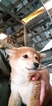 Shiba Inu Puppy For Sale in GOSHEN, IN, USA