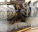 Puppy 7 Doberman Pinscher