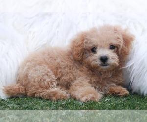 Poochon Puppy for sale in MARIETTA, GA, USA