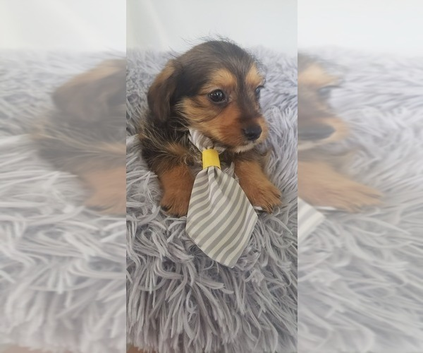 Medium Photo #1 Yorkie Russell Puppy For Sale in OTTAWA, OH, USA