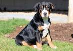 Greater Swiss Mountain Dog Puppy For Sale in MOUNT JOY, PA, USA