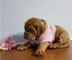 Puppy 4 Dogue de Bordeaux