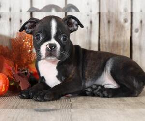 Boston Terrier Dog for Adoption in MOUNT VERNON, Ohio USA