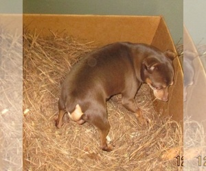 Miniature Pinscher Dogs for adoption in CARROLLTON, GA, USA