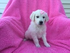 Golden Retriever Puppy For Sale in EAST EARL, PA