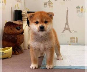 Shiba Inu Puppy for sale in ROWLAND HEIGHTS, CA, USA