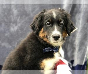 Australian Shepherd Puppy for sale in DELTA, PA, USA