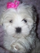 Adorable Toy Sized Maltipoo Puppy