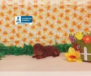 Dachshund Puppy for sale in WINNSBORO, LA, USA