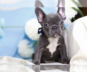 French Bulldog Dog for Adoption in CRANSTON, Rhode Island USA