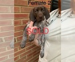 Small #22 German Shorthaired Pointer