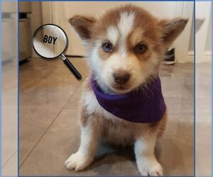 Puppyfinder com: Siberian Husky puppies puppies for sale near me in