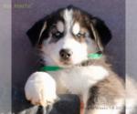 Puppy 9 Siberian Husky