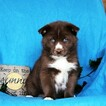 Pomsky Puppy For Sale in GAP, PA, USA