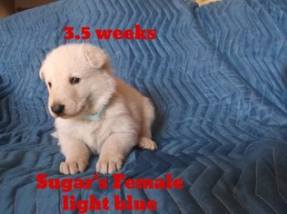 German Shepherd Dog Puppy For Sale in MOBERLY, MO, USA