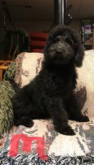 Labradoodle-Labrador Retriever Mix Puppy for sale in THURMOND, NC, USA