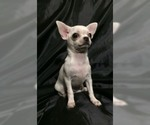 Chihuahua Puppy For Sale in SAINT PETERSBURG, FL, USA