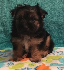Morkie Puppy For Sale in CLAY CITY, KY, USA
