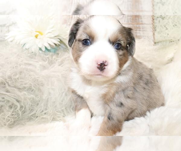 Medium Photo #8 Australian Shepherd Puppy For Sale in STAFFORD, VA, USA