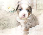 Small Photo #8 Australian Shepherd Puppy For Sale in STAFFORD, VA, USA