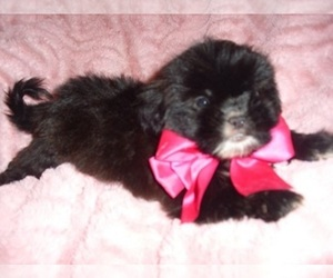 Shih Tzu Puppy for sale in JACKSON, MS, USA
