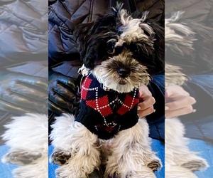 Zuchon Puppy for sale in MILTON, DE, USA