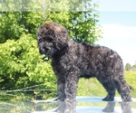 Small #43 Goldendoodle