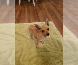 Chihuahua Mix Dog for Adoption in LITTLE RIVER, South Carolina USA