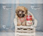Small #10 Maltese-Poodle (Toy) Mix