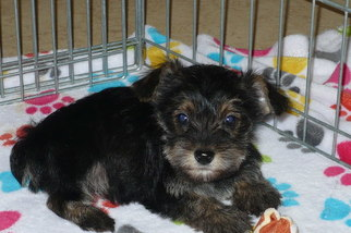 View Ad Snorkie Puppy For Sale Near Arizona Tucson Usa Adn 91409