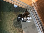 Border Collie Puppy For Sale in AUSTIN, TX, USA