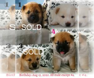 Shiba Inu Puppy for sale in RIVERSIDE, CA, USA