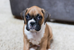 Boxer Puppy For Sale in KELLER, TX