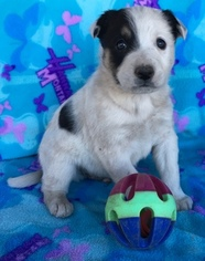 Australian Cattle Dog-Border Collie Mix Puppy for sale in SHOW LOW, AZ, USA